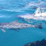 2 dolphins-in-mauritius